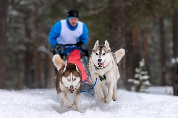Corse di cani da slitta. la squadra di cani da slitta husky tira una slitta con musher di cane. competizione invernale. Foto Premium