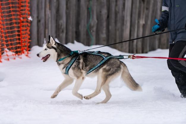 Corse di cani da slitta. squadra di cani da slitta husky nella corsa dell'imbracatura e tirando il cane driver competizione di campionati sportivi invernali. Foto Premium