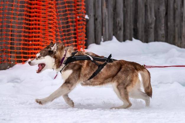 Corse di cani da slitta. squadra di cani da slitta husky nella corsa dell'imbracatura e tirando il driver del cane. competizione di campionati sportivi invernali. Foto Premium