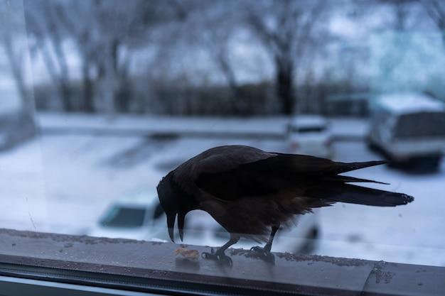Corvo che mangia fuori dalla finestra in inverno Foto Premium