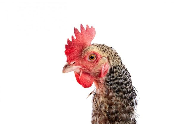 Coucou cou marans gallina dalla francia Foto Premium