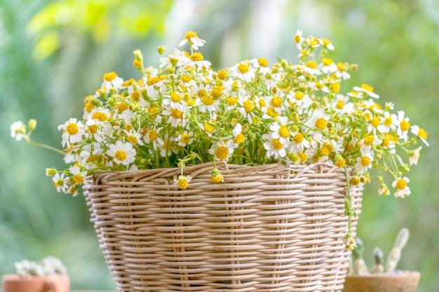 Crescita del fiore della margherita in cestino di vimini. Foto Premium