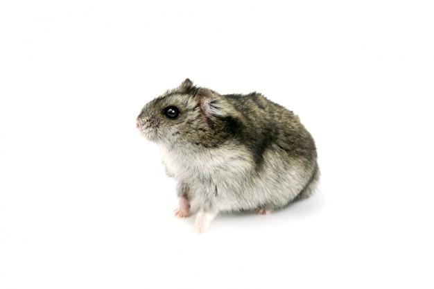 Criceto di ratto isolato Foto Premium