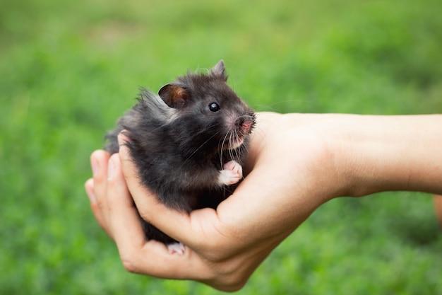 Criceto nero soffice in mano, su uno sfondo bellissimo Foto Premium