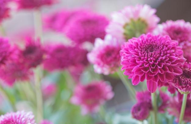 Crisantemo fiori colorati Foto Premium