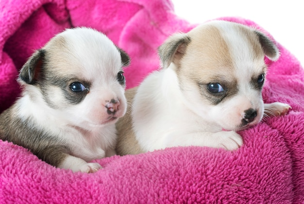 Cuccioli di chihuahua Foto Premium