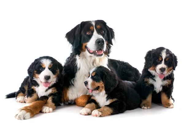 Cuccioli e cane adulto bernese moutain Foto Premium