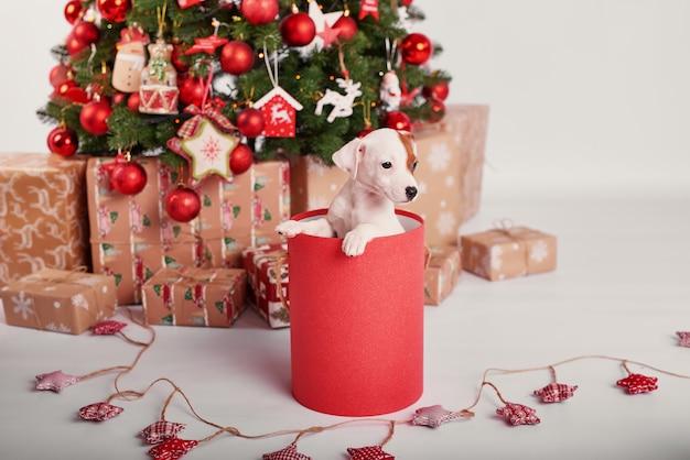 Cuccioli jack russell terrier nell'interno del nuovo anno Foto Premium