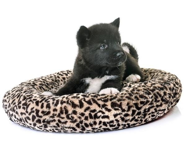 Cucciolo americano akita Foto Premium