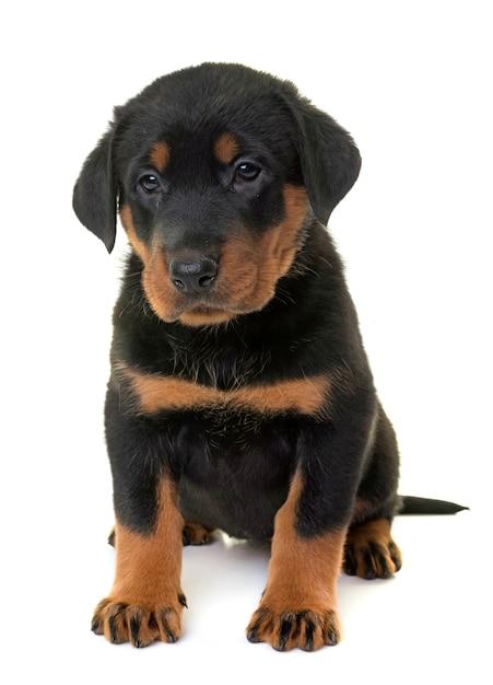 Cucciolo beauceron in studio Foto Premium