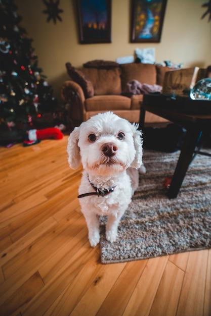Cucciolo bianco dai capelli ricci Foto Gratuite