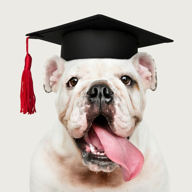 Cucciolo bianco sveglio del bulldog inglese in un cappuccio di graduazione Foto Premium