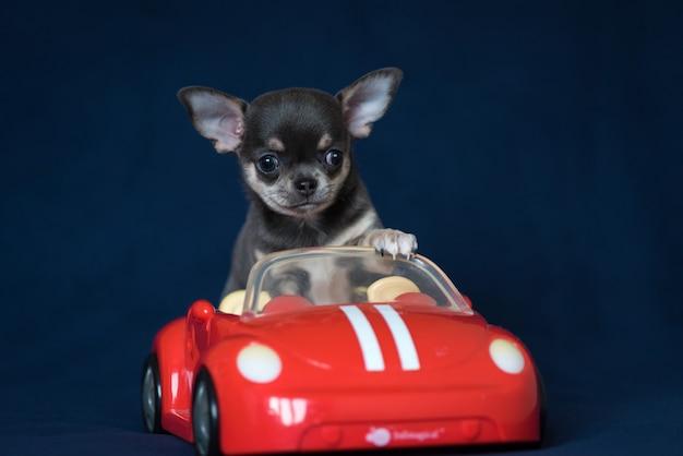 Cucciolo blu della chihuahua in un'automobile rossa su un fondo blu classico. Foto Premium