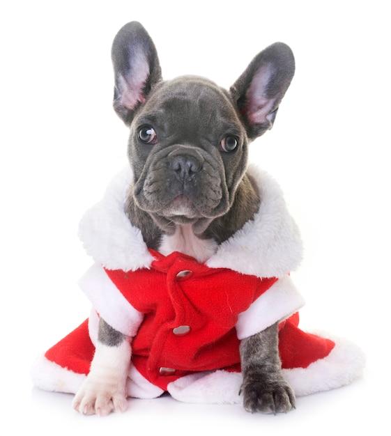 Cucciolo bulldog francese Foto Premium