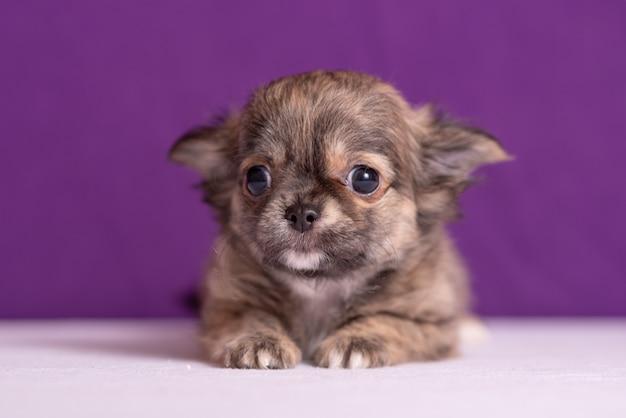 Cucciolo della chihuahua sulla porpora Foto Premium