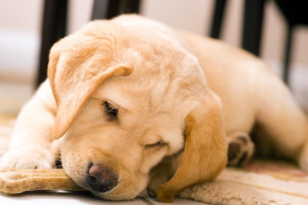 Cucciolo di cane che mangia l'osso del giocattolo Foto Premium