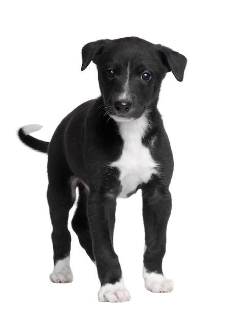Cucciolo di cane levriero con 6 settimane. Foto Premium