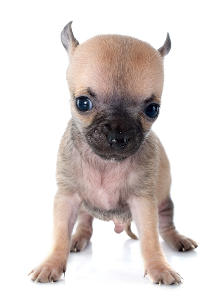 Cucciolo di chihuahua Foto Premium