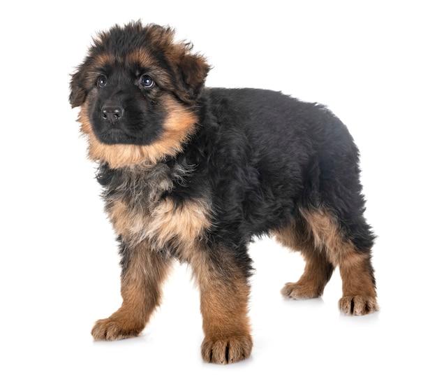 Cucciolo di pastore tedesco Foto Premium