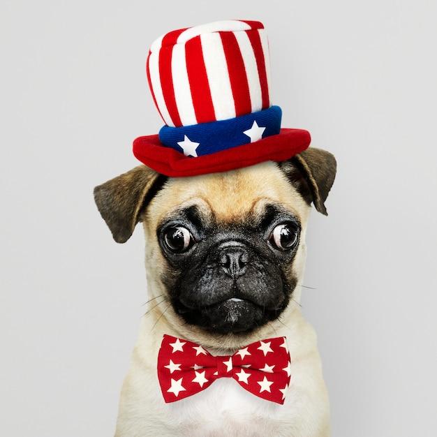 Cucciolo di pug americano Foto Gratuite