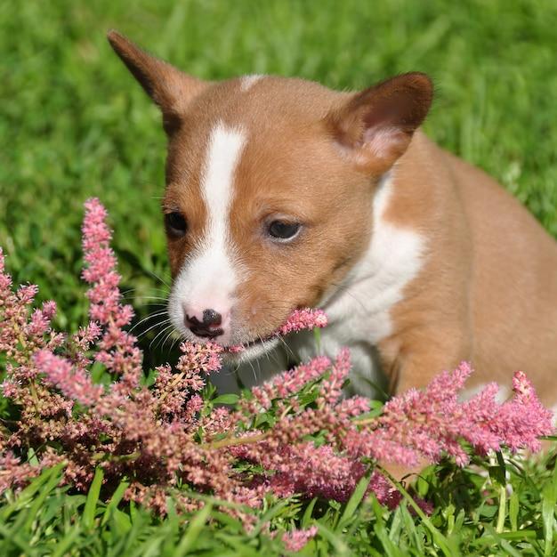 Cucciolo e fiore rossi svegli del cane di basenji Foto Premium