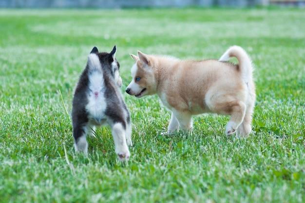 Cucciolo husky nero e amico marrone, cani sull'erba Foto Premium