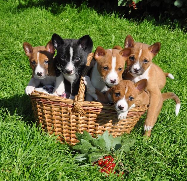 Cucciolo rosso divertente dei cani di basenji nel cestino Foto Premium
