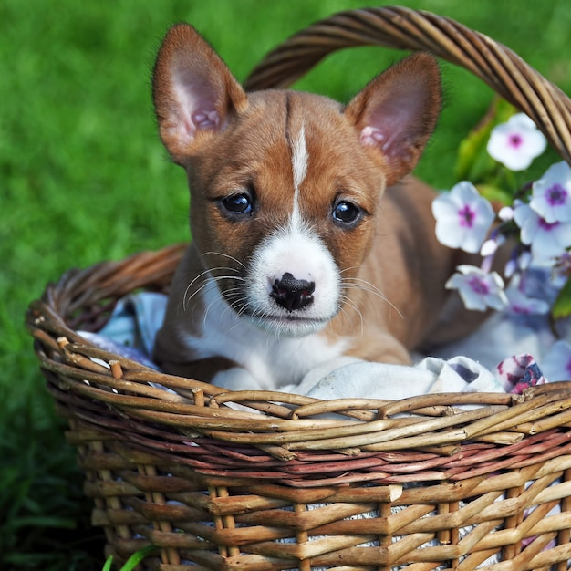 Cucciolo rosso piacevole del cane di basenji nel canestro fuori Foto Premium