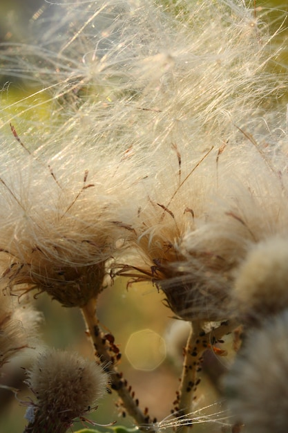 Dandelion vista frontale Foto Gratuite