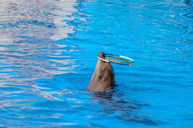 Delfino suona anelli. delfino ruota i cerchi sul naso. Foto Premium