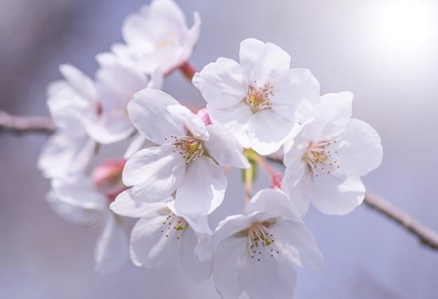 di fiori di ciliegio ramo primo piano scaricare foto gratis