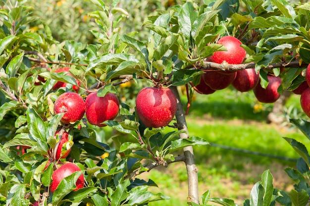 Di melo hanno caricato con le mele in un frutteto di estate Foto Premium