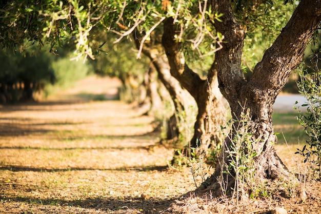 Di olivo su sfondo sfocato. di olivo su un boschetto nel salento, puglia, italia Foto Premium