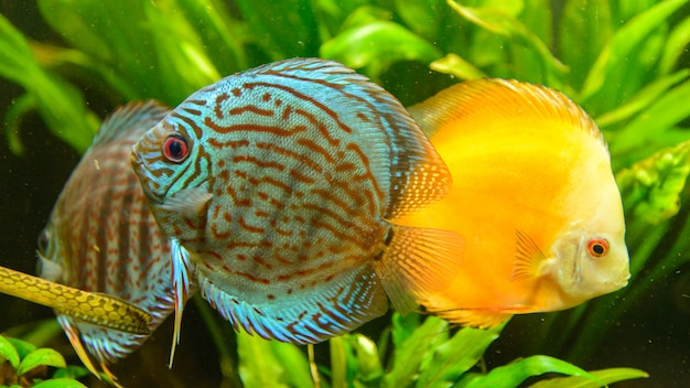 Discus gruppo di pesci (symphysodon aequifasciatus) di fronte a piante verdi. Foto Premium