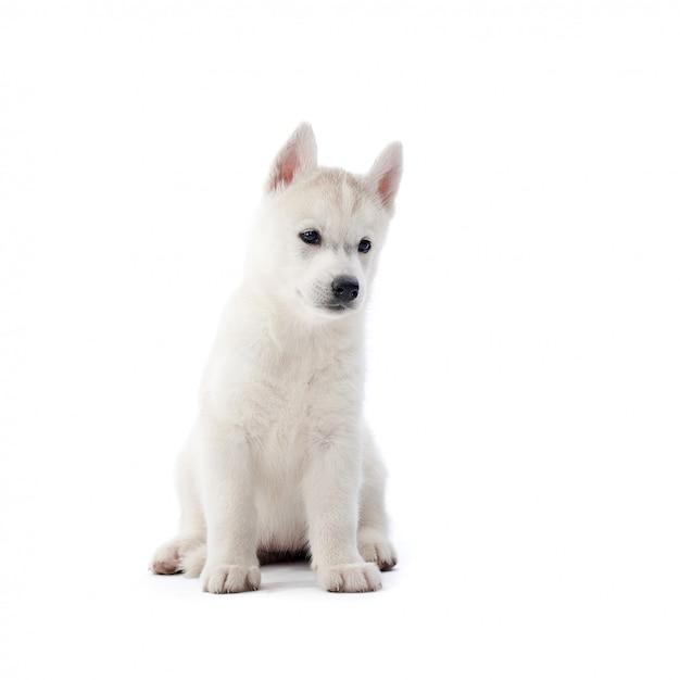 Distogliere lo sguardo di seduta del cucciolo del husky siberiano bianco isolato su copyspace bianco. Foto Gratuite