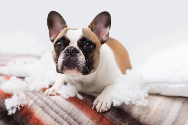 Distruttore domestico domestico si trova sul letto con un cuscino strappato. foto astratta di cura dell'animale domestico. piccolo cane colpevole con la faccia buffa. Foto Premium