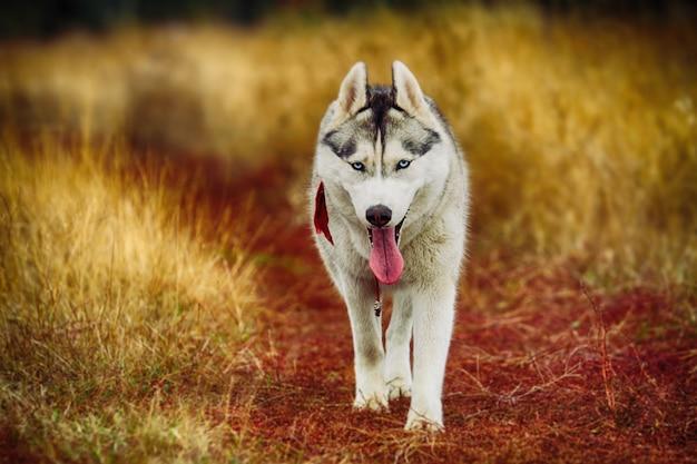 Divertente bel cane husky siberiano di lupo o cucciolo di pastore tedesco in esecuzione nel campo di autunno Foto Premium