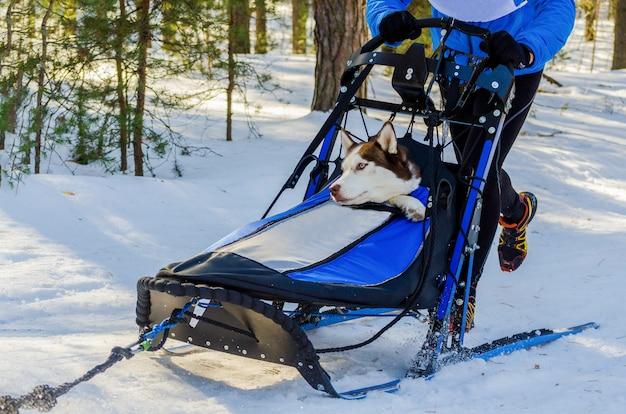 Divertenti cani husky siberiano in imbracatura. gara di cani da slitta. sfida al campionato di slitte nella fredda foresta invernale. Foto Premium