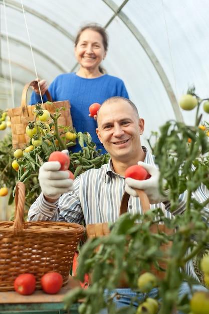 Donna e uomo raccogliendo pomodori Foto Gratuite