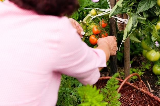Donna raccolta pomodori Foto Premium