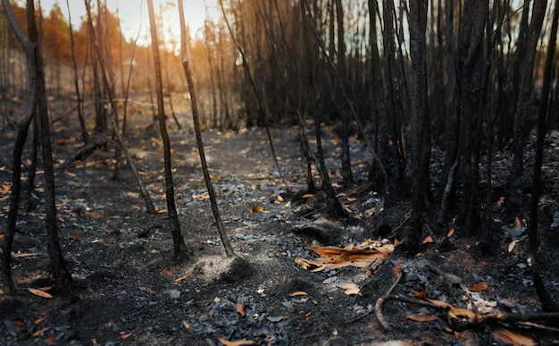 Dopo incendi con polvere e ceneri / area di deforestazione illegale. riscaldamento globale / concetto di ecologia Foto Premium