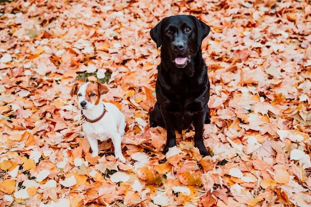 Due bei cani che si siedono all'aperto sul fondo delle foglie di marrone. labrador nero e piccolo jack russell carino Foto Premium