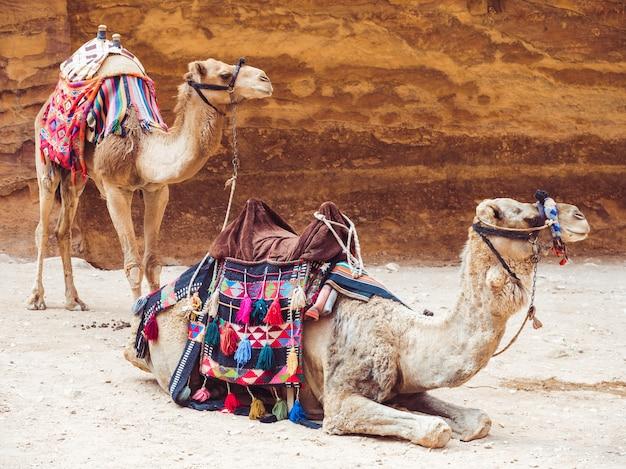 Due bellissimi cammelli sullo sfondo della roccia Foto Premium