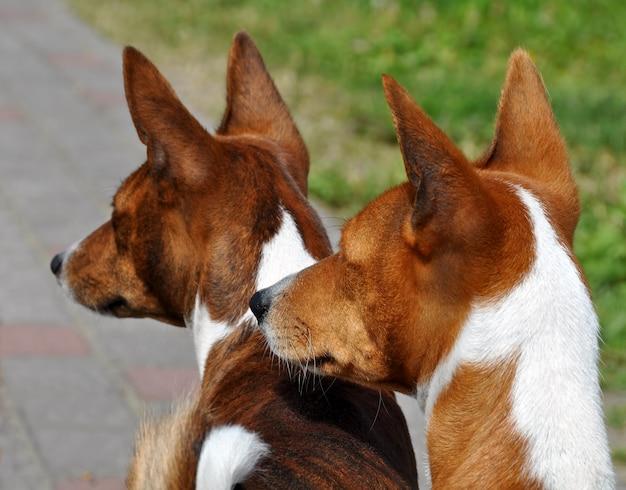 Due cani basenji sulla strada in cortile Foto Premium
