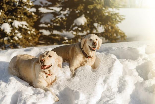 Due cani labrador nella neve, i cani camminano in inverno Foto Premium