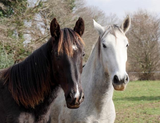 Due cavalli bianchi e neri in prato Foto Premium