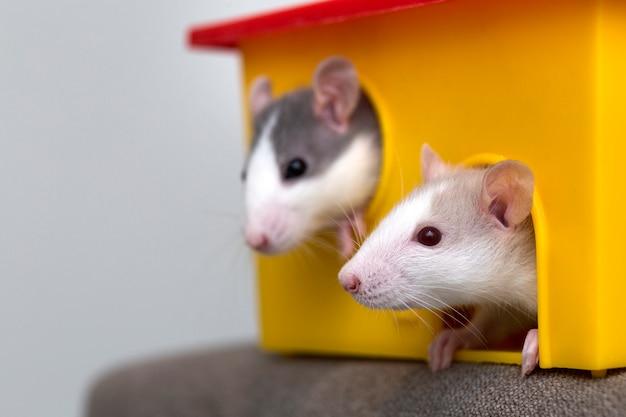 Due criceti bianchi e grigi che guardano dalla finestra gialla della gabbia Foto Premium