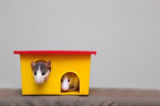 Due criceti curiosi di topi curiosi addomesticati bianchi e grigi con gli occhi brillanti che guardano dalla finestra gialla brillante della gabbia. mantenere gli amici a casa, cura e amore per il concetto di animali. Foto Premium