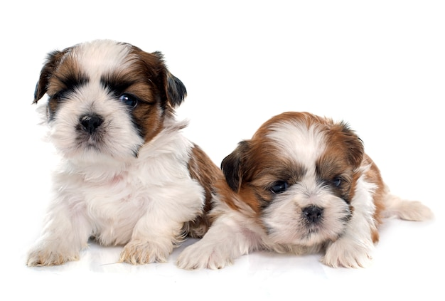 Due cuccioli shitzu Foto Premium