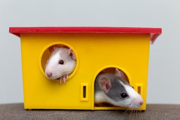Due divertenti criceti curiosi addomesticati bianchi e grigi dei topi con gli occhi brillanti che guardano dalla finestra gialla brillante della gabbia. mantenere gli amici a casa, la cura e l'amore per il concetto di animali. Foto Premium